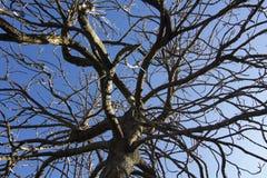 Albero guasto su cielo blu Immagini Stock Libere da Diritti