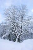 Albero I di Snowy Fotografia Stock
