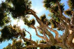 Albero impressionante in Sausalito California Immagine Stock Libera da Diritti