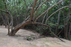 Albero incurvato che cresce nuovamente dentro la terra nel Messico Immagini Stock Libere da Diritti