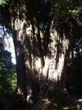 Albero indigeno a Canterbury, Nuova Zelanda fotografia stock libera da diritti