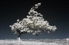 Albero infrarosso Fotografie Stock