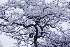 Albero innevato di inverno. Fotografia Stock