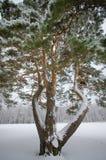 Albero innevato di inverno Immagine Stock