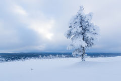 Albero innevato in Lapponia finlandese fotografia stock