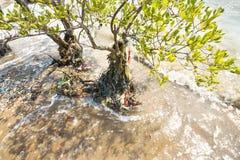 Albero inquinante delle mangrovie Fotografia Stock Libera da Diritti