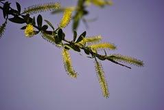 Albero insolito con i fiori gialli Fotografie Stock