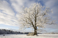 Albero in inverno Fotografia Stock