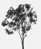 Albero isolato fotografia stock