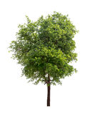 Albero isolato con la foglia verde su fondo bianco Immagine Stock