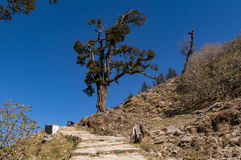 Albero isolato del rododendro in viaggio a Chandrashila e a Tungnath Immagine Stock Libera da Diritti