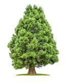 Albero isolato della sequoia Fotografia Stock Libera da Diritti