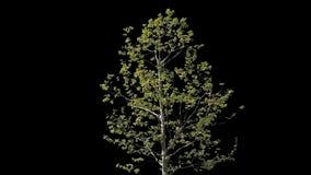Albero isolato Platanus video d archivio