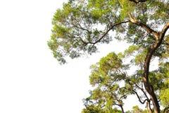 Albero isolato su priorità bassa bianca Struttura dell'albero del ramo immagini stock libere da diritti