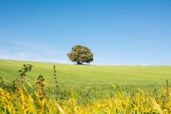 Albero isolato su un campo verde, sotto un cielo blu pulito immagine stock