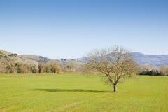 Albero isolato in un campo di erba della Toscana Toscana - Italia Immagine Stock