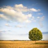 Albero isolato in un wheatfield della Toscana - Toscana - Italia Fotografie Stock Libere da Diritti