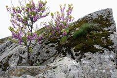 Albero lilla Fotografia Stock Libera da Diritti