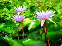 Albero Lotus23 Fotografie Stock