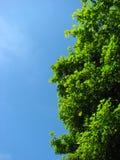 Albero luminoso del sicomoro Fotografia Stock Libera da Diritti