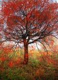 Albero luminoso di autunno Immagini Stock Libere da Diritti