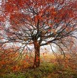 Albero luminoso di autunno Fotografia Stock