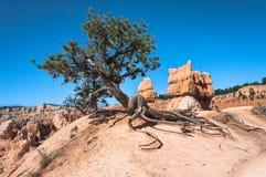 Albero lungo la traccia del cavallo in Bryce Canyon National Park, Utah Fotografie Stock Libere da Diritti