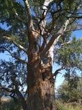 Albero maestoso Albero gigante Grande abitante della foresta fotografie stock