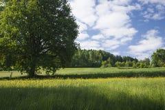 Albero maturato che sta su una collina verde in cielo blu e nuvole bianche Fotografie Stock