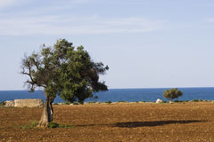 Albero mediterraneo. Immagine Stock