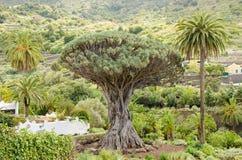 Albero millenario di Drago a Icod de los Vinos, Tenerife Fotografia Stock Libera da Diritti
