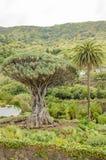 Albero millenario di Drago a Icod de los Vinos, Tenerife Immagini Stock
