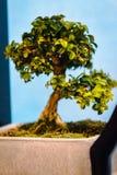 Albero minuscolo dei bonsai che è indicato a Frederik Meijer Gardens immagine stock