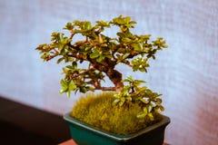 Albero minuscolo dei bonsai della mela di granchio fotografie stock