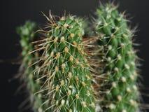 Albero minuscolo del cactus Fotografia Stock Libera da Diritti