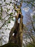 Albero Molla bucata della foresta dell'albero Verde della priorità bassa Immagine Stock Libera da Diritti