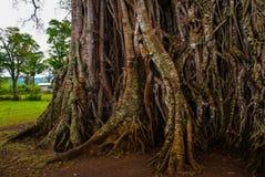 Albero molto enorme e gigante con le radici e foglie verdi nelle Filippine, isola di Negros, Kanlaon Fotografia Stock Libera da Diritti