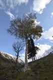 Albero in montagne del Kashmir Fotografia Stock
