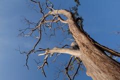 Albero morto che sta sotto il cielo blu Fotografie Stock