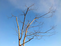 Albero morto con il fondo del cielo blu Fotografia Stock Libera da Diritti