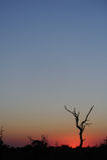 Albero morto contro un tramonto africano fotografie stock