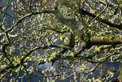 Albero muscoso su Sunny Winter Day Immagini Stock