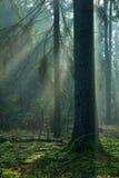 albero nebbioso dell'abete rosso di mattina della foresta Immagine Stock