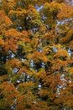 Albero nei colori di autunno Fotografia Stock Libera da Diritti