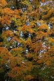 Albero nei colori di autunno Immagini Stock Libere da Diritti