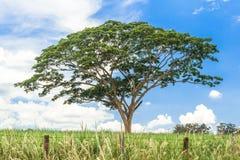 Albero nel campo - ferrea di Caesalpinia Fotografie Stock Libere da Diritti