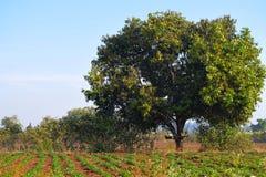 Albero nel campo, Kalaburagi, India fotografia stock