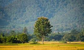 Albero nel giacimento verde del riso Immagine Stock