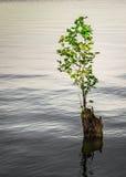 Albero nel lago Immagini Stock Libere da Diritti
