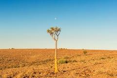 Albero nel paesaggio del deserto di Namib Fotografia Stock Libera da Diritti